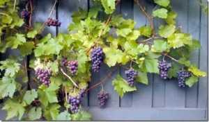 Gambar Tanaman Buah Anggur