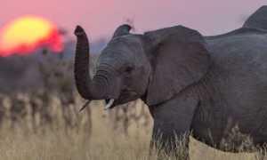 Gambar Gajah Anak