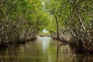 Gambar Hutan Tanaman Bakau Mangrau