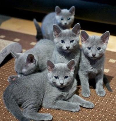 Jenis Kucing Ras Lucu Dan Gambar Fotonya Jagad Id