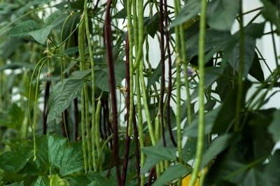 Manfaat Kacang Panjang Dan Bahaya Efek Samping