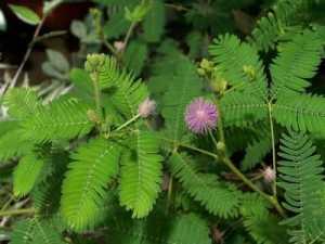 Gambar Tanaman Bunga Putri Malu