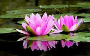 Gambar Tanaman Bunga Teratai