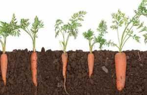Gambar Tanaman Sayur Wortel