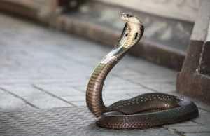 Gambar Ular Cobra