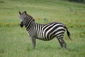 Gambar Zebra Liar