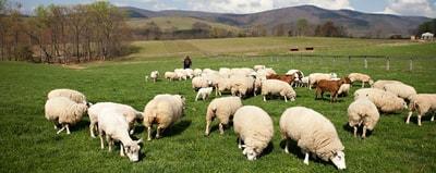 Gambar Peternakan Domba