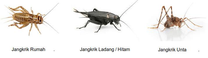 Berbagai Jenis Spesies Jangkrik