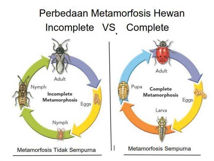 Perbedaan Metamorphosis Sempurna dan Tidak Sempurna