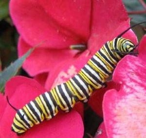 Gambar Larva - Ulat Kupu