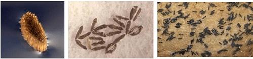 Gambar Telur Nyamuk - Metamorfosis Sempurna
