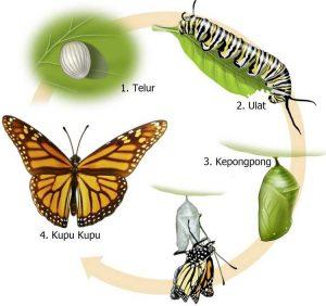 Metamorfosis Sempurna - Kupu Kupu - Gambar Penjelasan Proses Tahapan