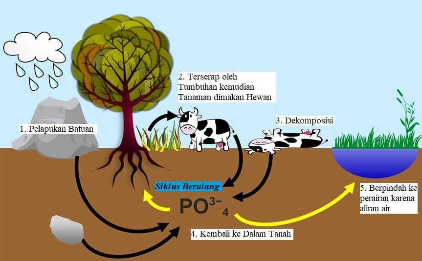 Siklus Fosfor Pengertian Dan Proses Gambar Hd Penjelasan