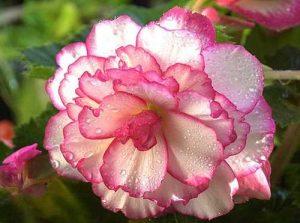 Bunga Begonia