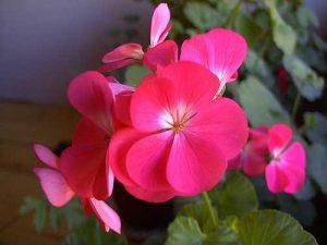 Bunga Geranium