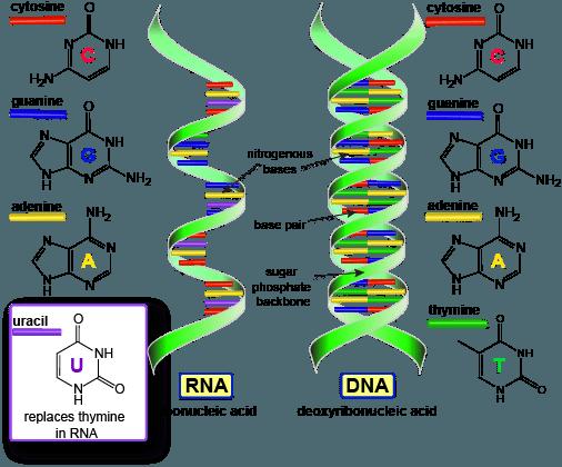 DNA dan RNA : Definisi, Struktur, Fungsi, dan Perbedaan
