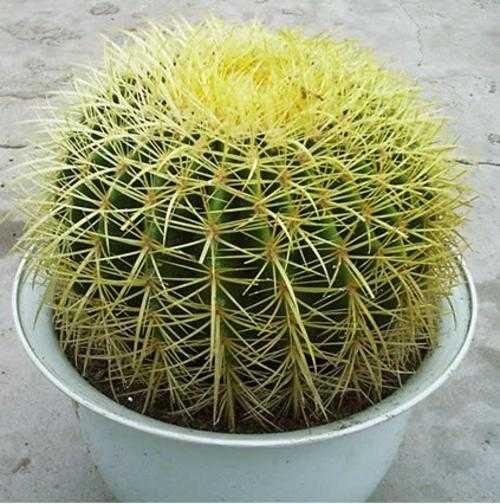 Kaktus Echinocactus Grusonii