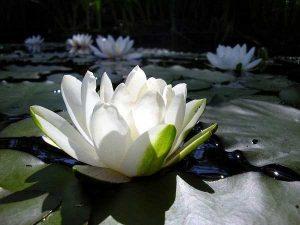 Tanaman Air Lotus