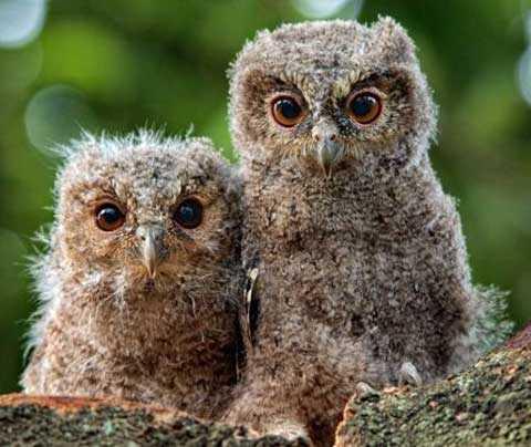 Burung Hantu Cepluk Sunda Anak - Scops Owls