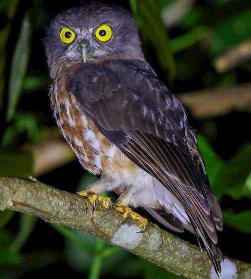 Burung Hantu Elang Andaman