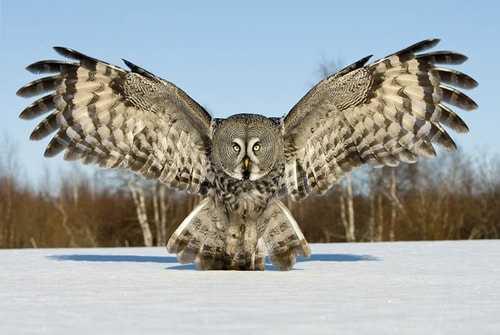 Burung Hantu Kelabu Besar