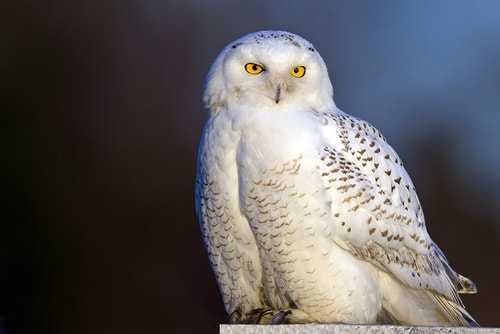 Burung Hantu Salju Putih - Snowy Owl