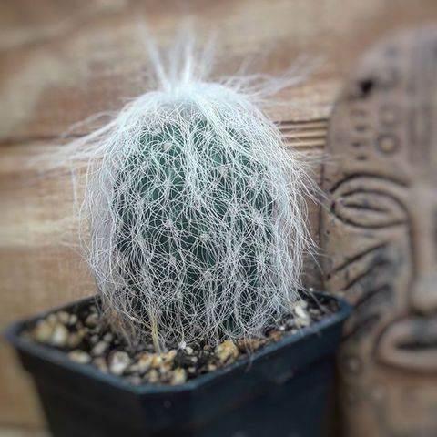 Kaktus Cephalocereus Senilis - Tanaman Hias
