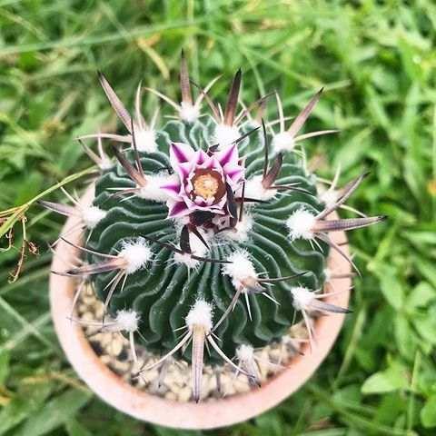 Kaktus Echinofossulocactus - Tanaman Hias