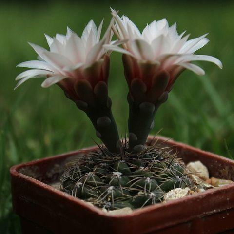 Kaktus Gymnocalycium - Tanaman Hias