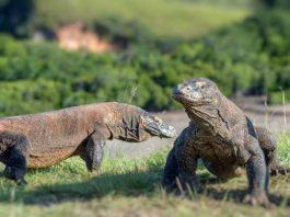 Komodo : Sejarah, Ciri dan Habitat di Pulaunya
