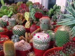Macam Macam Tanaman Hias Kaktus