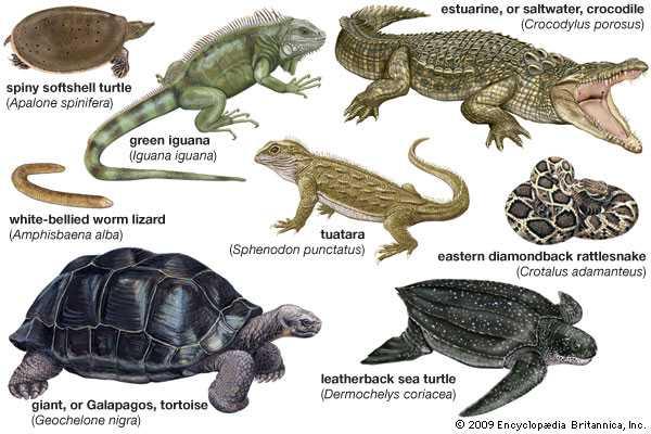 Reptil - Pengertian, Ciri, Contoh Hewan dan Habitat