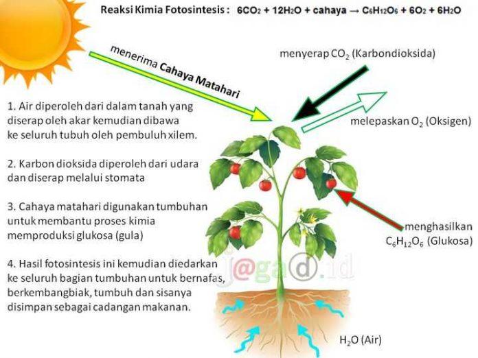 Fotosintesis Adalah Hasil Reaksi Kimia Gambar dan Keterangannya