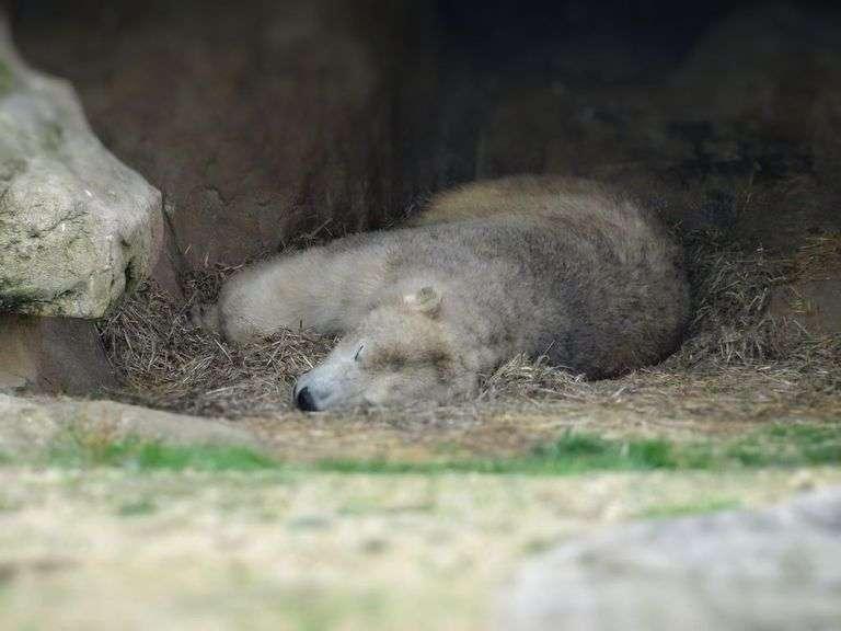 Pengertian Hibernasi Adalah, Tujuan Fungsi, Contoh Hewan