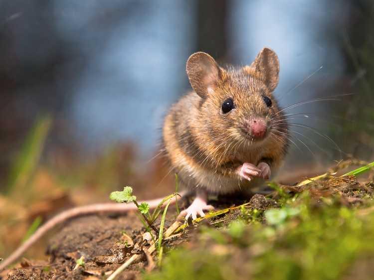 Hewan Tikus di Kebun