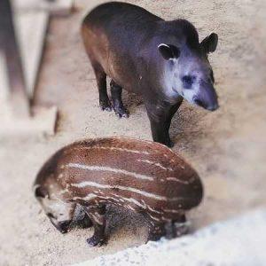 Induk Tapir Brazil dan Anak Tapir