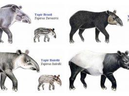 Macam Jenis Spesies Tapir