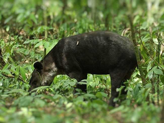 Tapir Bairdii Hutan