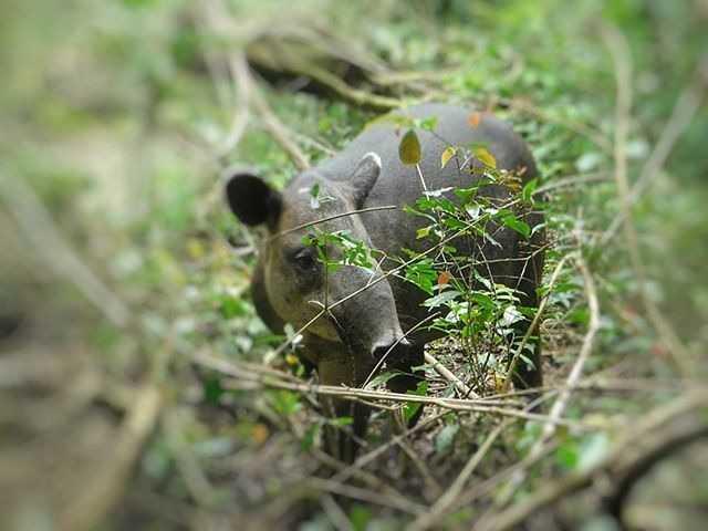 Tapir Bairdii