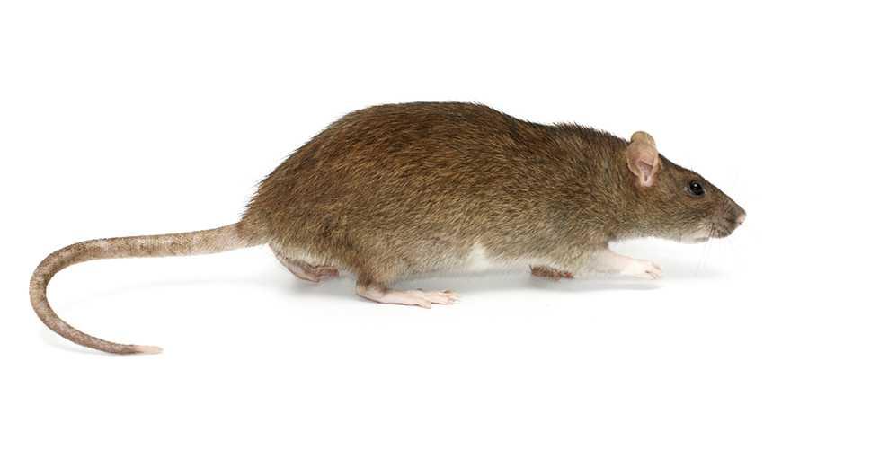 Tikus Rattus Norvegicus