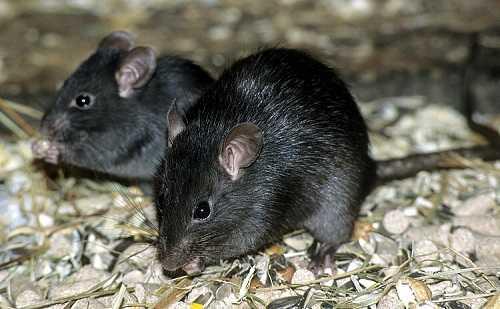 Tikus Rattus Rattus