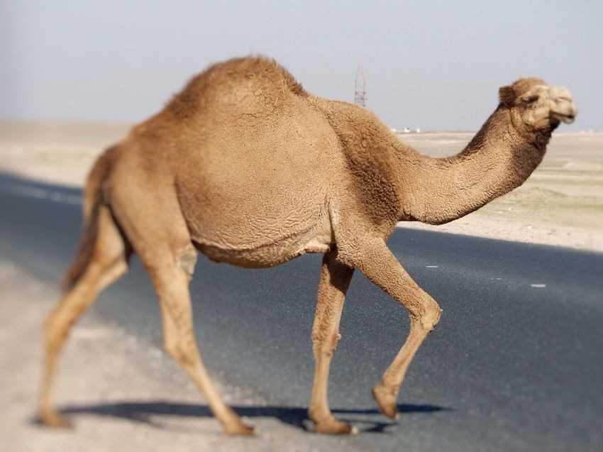 Unta Arab