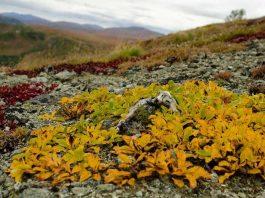 Vegetasi tundra
