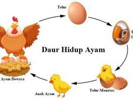 Daur Hidup Ayam - Siklus Proses Tahapan Pertumbuhan