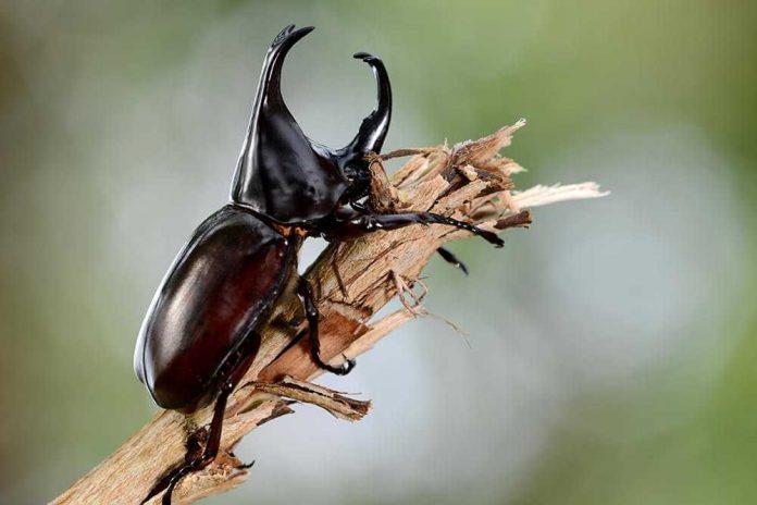 Kumbang Ciri Ciri dan Klasifikasi