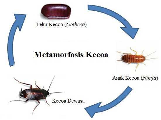 Metamorfosis Kecoa