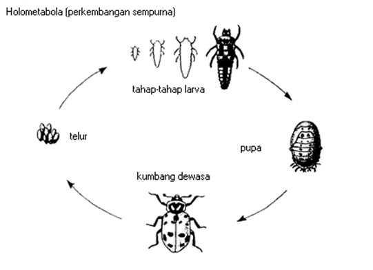 Metamorfosis Kumbang - Daur Hidup Sempurna Lengkap