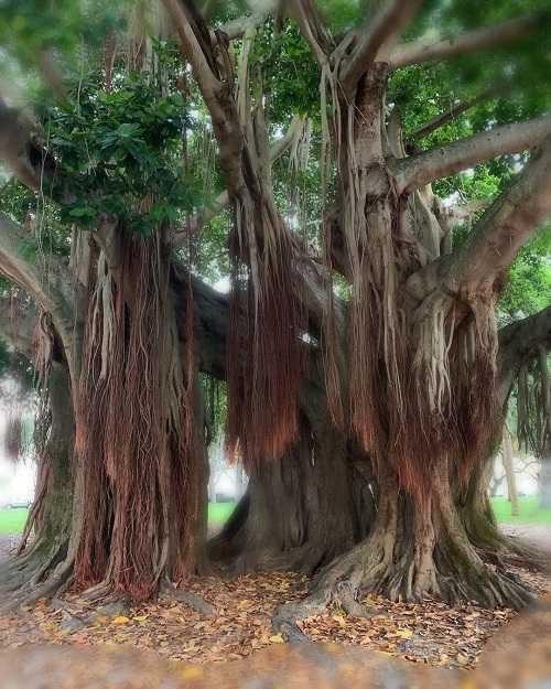 Akar Gantung Pohon Beringin