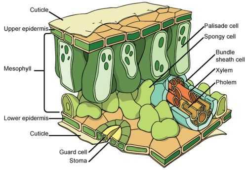 Pengertian Daun Adalah - Anatomi Daun
