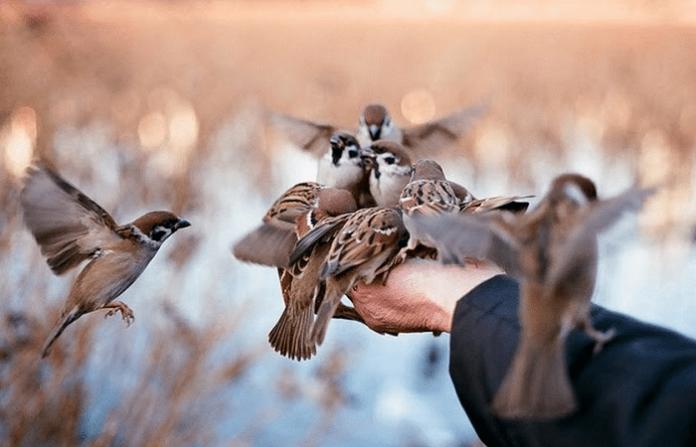 Cara Menjinakan Burung Yang Masih Giras